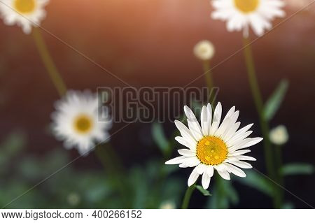 Meadow Field Of Beautiful Blossoming Yellow And White Chamomile Flower Dew Drops At Morning Sunrise
