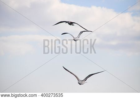 Gray And White Seagull Birds In Natural Environment
