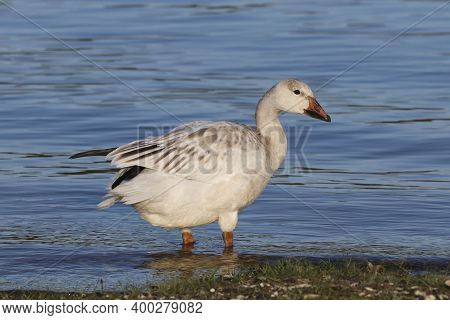 A Snow Goose - Chen Caerulescens - Standing In Shallow Blue Water During Migration In Florida