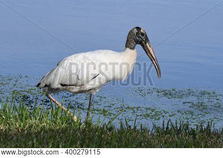 Wood Stork - Mycteria Americana - Walking At The Edge Of A Florida Lake