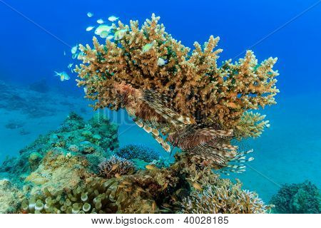 A Pair Of Lionfish On An Acropora Table Coral