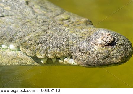 Close Up Of The Jaws Of A Large Saltwater Crocodile In Murky Green Water