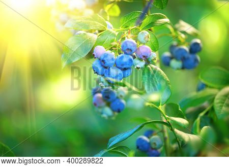 Blueberry. Fresh and ripe organic Blueberries plant growing in a garden. Diet, dieting, healthy vegan food. Blue berry hanging on a branch. Bio, organic healthy food