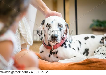 Dalmatian Mother Dog Stroking On The Head.
