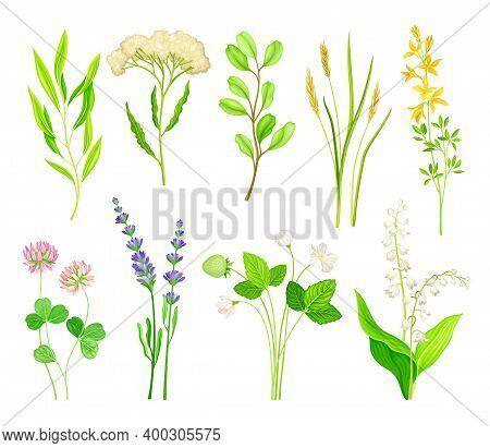 Wild Flowers And Herbaceous Flowering Plants Vector Collection