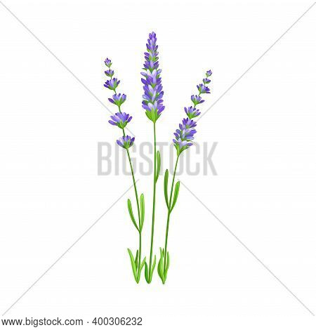 Lavender With Small Florets As Wildflower Specie Or Herbaceous Flowering Plant Vector Illustration