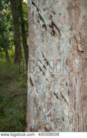 Claw Marks Of A Bengal Tiger Panthera Tigris Tigris On A Tree Trunk. Bandhavgarh National Park. Madh