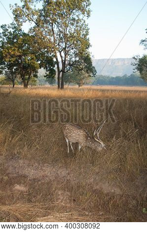 Male Chital Axis Axis Grazing. Bandhavgarh National Park. Madhya Pradesh. India.