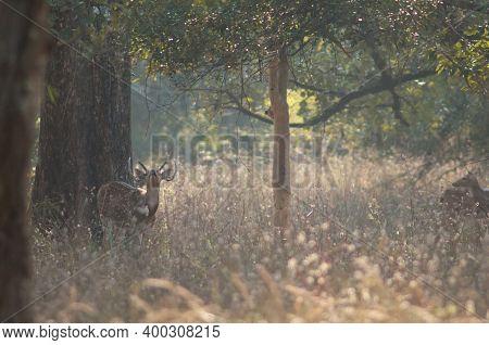 Male Chital Axis Axis Calling. Bandhavgarh National Park. Madhya Pradesh. India.