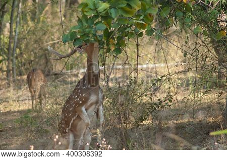 Male Chital Axis Axis Feeding. Bandhavgarh National Park. Madhya Pradesh. India.