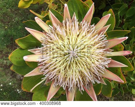 The Head Of A Protea