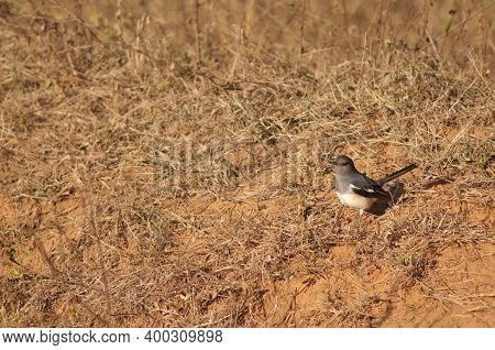 Oriental Magpie Robin Copsychus Saularis. Female. Bandhavgarh National Park. Madhya Pradesh. India.