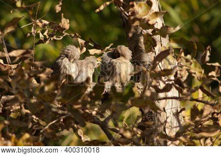 Jungle Babblers Turdoides Striatus Preening. Bandhavgarh. Madhya Pradesh. India.