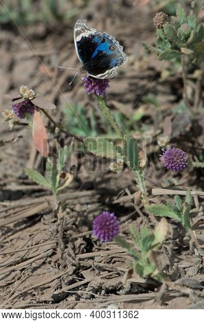 Butterfly Precis Orithya On A Flower. Bandhavgarh National Park. Madhya Pradesh. India.