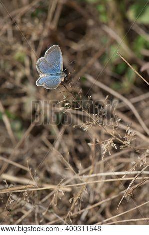 Butterfly Lycaenidae On Grass In Bandhavgarh National Park. Madhya Pradesh. India.