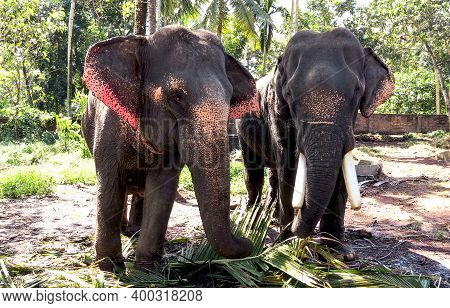 The Elephant And Elephant Female Eating The Branches Of Date Palm, Standing On The Road In Forest Ne