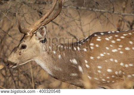 Male Of Chital Axis Axis. Gir Sanctuary. Gujarat. India.