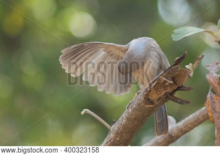 Jungle Babbler Turdoides Striatus Preening On A Branch. Sasan. Gir Sanctuary. Gujarat. India.