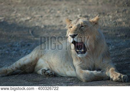 Asiatic Lion Panthera Leo Persica In Devalia. Lioness Yawning. Gir Sanctuary. Gujarat. India.
