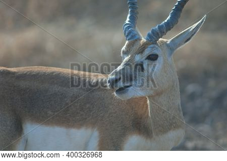 Male Blackbuck Antilope Cervicapra Ruminating In Devalia. Gir Sanctuary. Gujarat. India.
