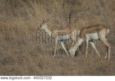 Pair Of Blackbucks Antilope Cervicapra In Devalia. Gir Sanctuary. Gujarat. India.