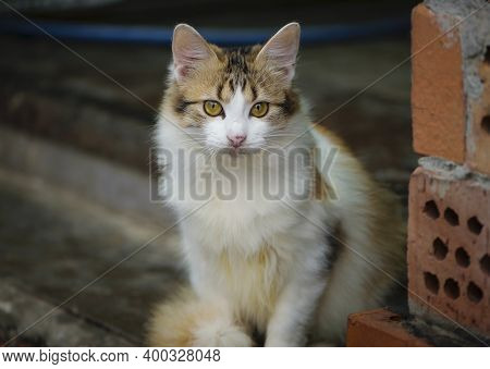Fluffy Tricolor Cat With White Breast On The Street. A Motley Gorgeous Cat Sits And Rests, Looks At