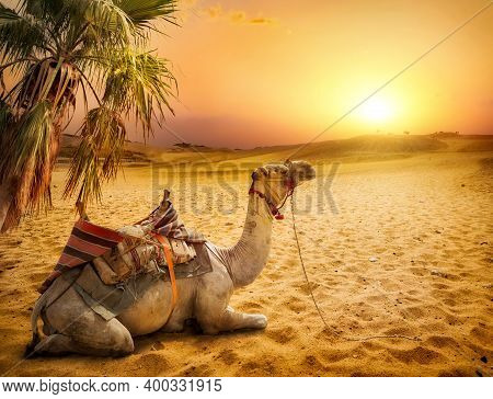 Camel Resting Under A Palm Tree In The Desert Of Egypt