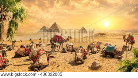 Camels Rests Near Ruins Pyramids Of Egypt
