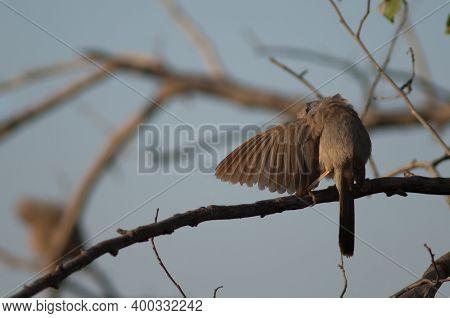 Jungle Babbler Turdoides Striatus Preening. Keoladeo Ghana National Park. Bharatpur. Rajasthan. Indi