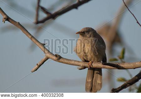 Jungle Babbler Turdoides Striatus Perched On A Branch. Keoladeo Ghana National Park. Bharatpur. Raja