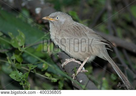 Jungle Babbler Turdoides Striatus On A Branch. Keoladeo Ghana National Park. Bharatpur. Rajasthan. I