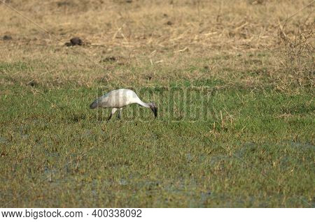 Black-headed Ibis Threskiornis Melanocephalus Searching For Food. Keoladeo Ghana National Park. Bhar