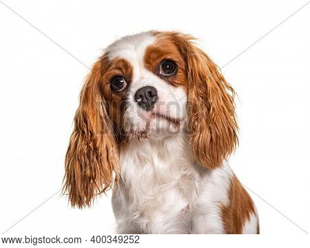 Head shot of a Cavalier King Charles Spaniel dog, isolated