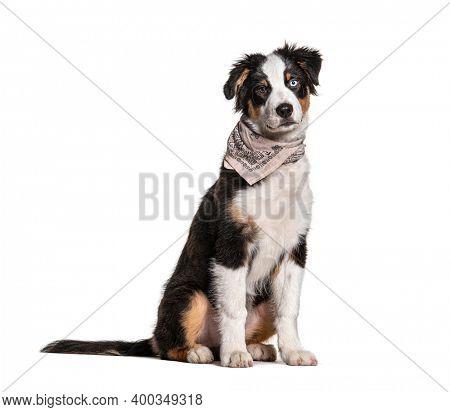 Odd-eyed australian Shepherd wearing a scarf dog