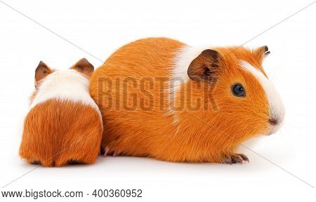 Guinea Pig Family Isolated On White Background. Funny, Guineapig.
