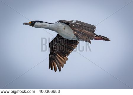 Imperial Shags, Blue-eyed Cormorants. Imperial Cormorants. King Cormorants In Flight In Antarctica.