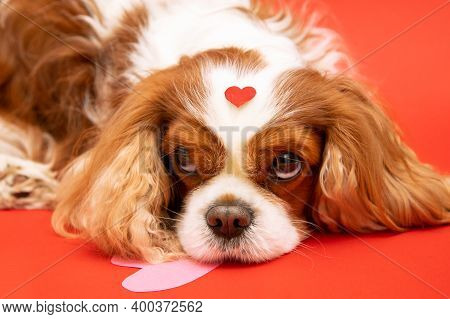 Dog Cavalier King Charles Spaniel With Heart And Head On Red Background. Best Cupid For Valentine's
