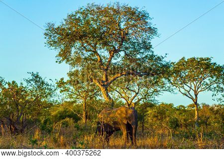 The Kruger Park. Sunset. African large savanna elephant. Thickets of a desert acacia. South Africa. Animals live and move freely in the savannah. The concept of exotic and photo tourism