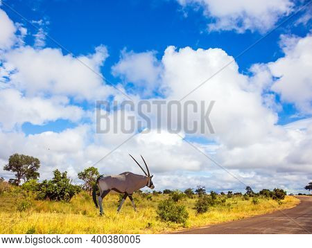 South Africa. The Kruger Park. Oryx - saber-horn antelope graze in the green bushes. Animals live and move freely in the African savannah. The concept of active; ecological and photo tourism