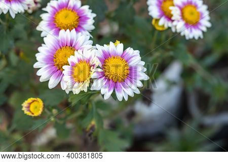 Beautiful Bloomed Aster Alpinus Or The Alpine Aster Or Alpine Daisy Flowers In The Home Garden