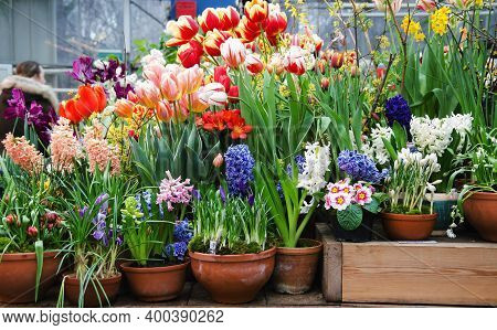 First Spring Flowers In Greenhouse - Hyacinths, Tulips, Crocuses, Primroses In Pots, Selective Focus