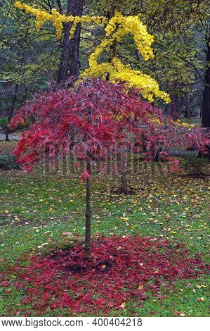 Autumn In Park. Red Leaves Of Japanese Maple Tree And Yellow Leaves Of Ginkgo Biloba Tree. Montenegr