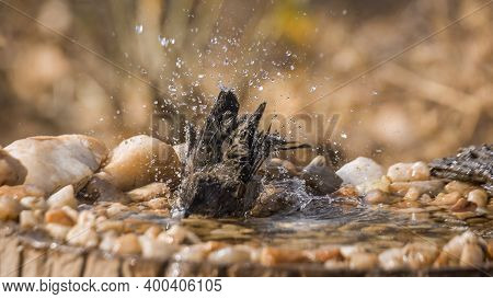 Arrow Marked Babbler Bathing In Waterhole In Kruger National Park, South Africa ; Specie Turdoides J