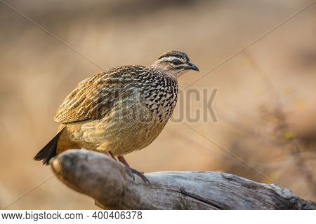 Crested Francolin Standing On Log In Morning Light In Kruger National Park, South Africa ; Specie De