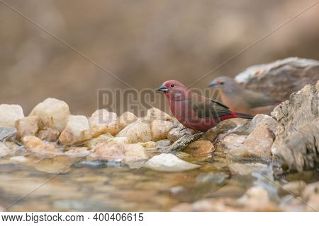 Couple Of Jameson Firefinch Standing At Waterhole In Kruger National Park, South Africa ; Specie Lag
