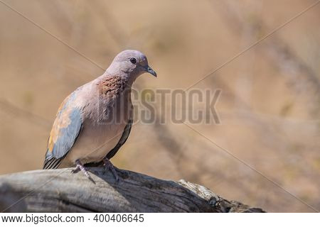 Laughing Dove Standing In A Log With Blur Background In Kruger National Park, South Africa ; Specie