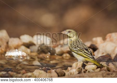 Village Weaver Standing At Waterhole Rear View In Kruger National Park, South Africa ; Specie Ploceu
