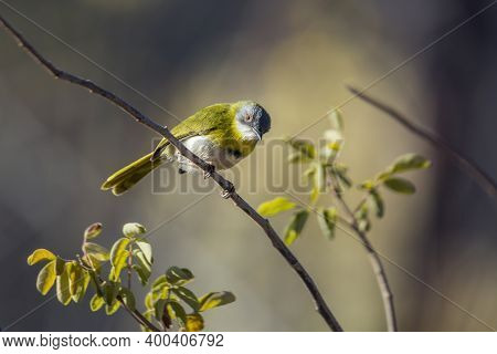 Yellow Breasted Apalis Perched In Branch With Natural Background In Kruger National Park, South Afri
