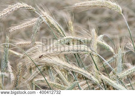 Grains Of Grain, A Field Full Of Sown Wheat, A Ripening Grain, And A Worm Sitting On The Grains
