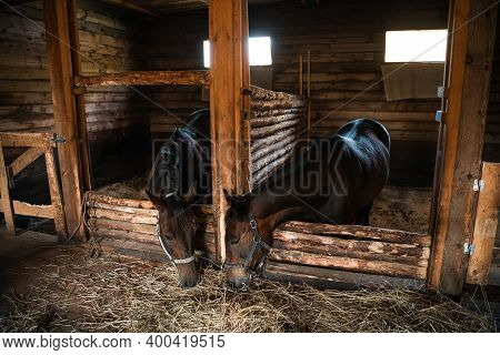 In A Wooden Stable, Horses Pull Their Heads Towards Fresh Hay Lying On The Floor.